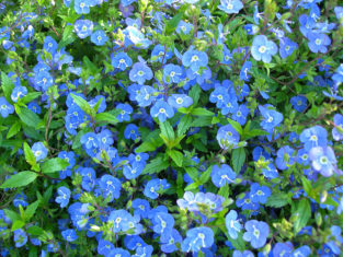 Veronica umbrosa 'Georgia Blue' (Photo by Joanne Young)