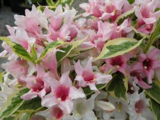 Weigela is an example of a shrub that's easy to propagate by taking hardwood cuttings in the fall. (Photo by Joanne Young)