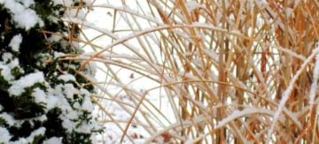 Snow collects on miscanthus. (Photo by Brendan Zwelling)