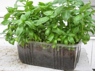 Basil growing in recycled salad container. (Photos by Carol Pope)