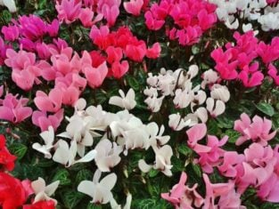 Brightly coloured cyclamen (Photo from Pixabay)