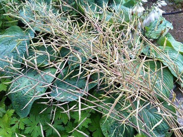 Kale seed pods