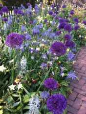 Purple alliums, columbines and camassias fill a display border at Longwood Gardens in Pennsylvania.
