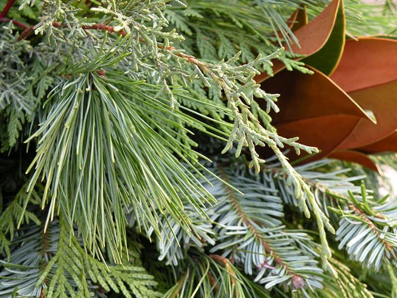 Mixed greenery for decorations can come from boughs cut in your own garden. (Photo by Joanne Young)
