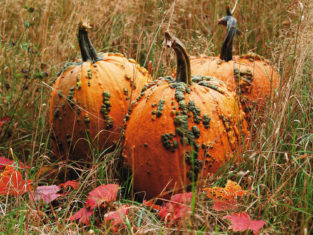 'Knucklehead' pumpkins (Photo from Veseys.com)