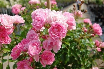 'The Fairy' rose (Photo by Sheridan Nurseries)