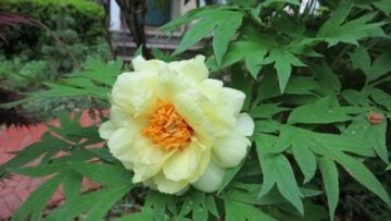 Japanese tree peony (Garden Making photo)